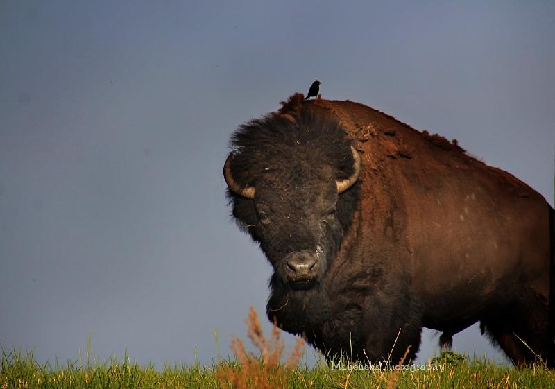 mp bison bird.jpg